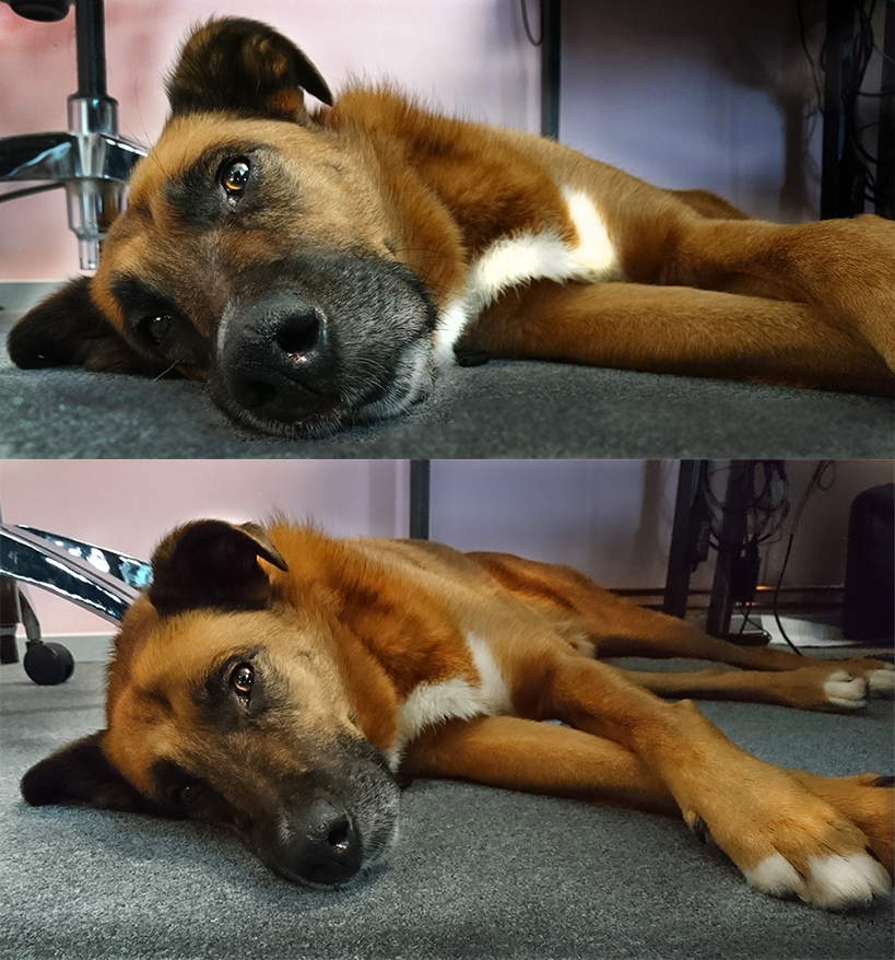Mason the German Shepherd-Boxer Cross
