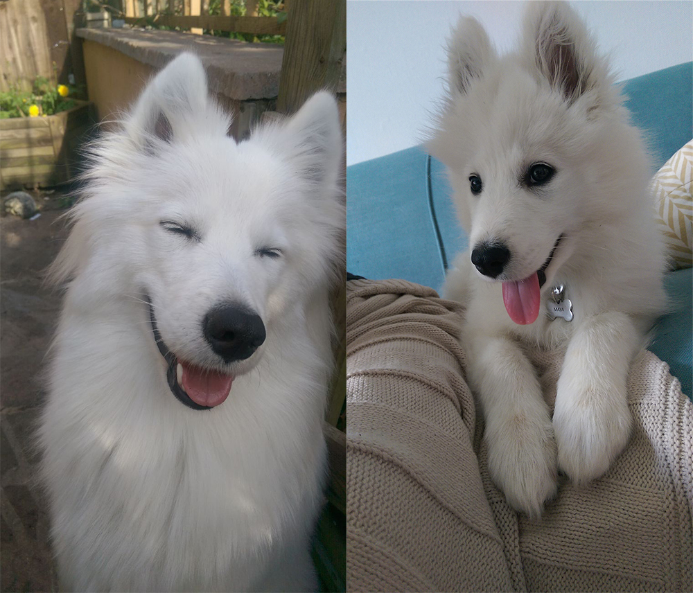 Maya the Samoyed